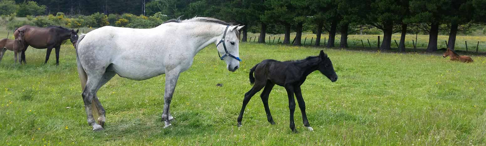 Pregnancy scanning and foaling services