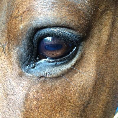 Equine Conjunctivitis